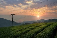 Tea Plant Field In Twilight Royalty Free Stock Images