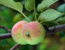 Free Two Apples Stock Photos - 18397783