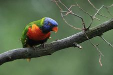 Free Lori Lorikeet Stock Photography - 18397912