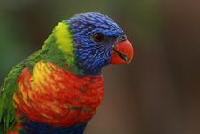 Free Lori Lorikeet Stock Photos - 18398073