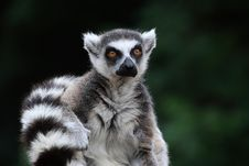 Free Tailed Lemur Stock Photos - 18398213