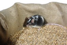 Free Eating Wheat Mouse Royalty Free Stock Images - 18399239