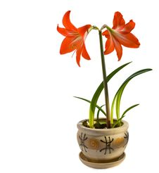 Free Hippeastrum Stock Photography - 18399322