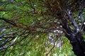 Free Tree View Upwards 3 Stock Photography - 1844152