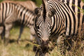 Free Grazing Zebra Royalty Free Stock Images - 1846609