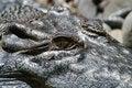 Free Alligator Eye Royalty Free Stock Photography - 1849127