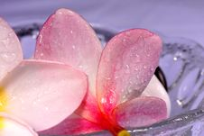 Free Frangipane Flowers And Pebbles In A Glass Bowl Stock Images - 1840714