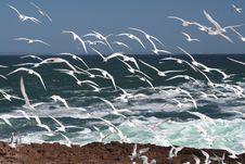 Free Swift Terns 2 Stock Photos - 1841193