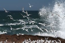 Free Swift Terns 1 Royalty Free Stock Photography - 1841227