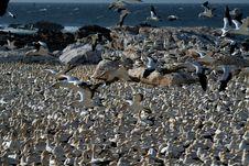 Free Cape Gannets, Lamberts Bay 2 Stock Photography - 1841252