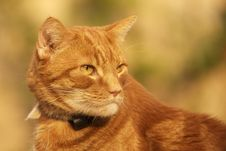 Free Ginger Cat Stock Photos - 1841413