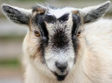 Free Miniature Goat Royalty Free Stock Image - 1842676