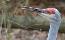 Free Sandhill Crane Stock Photos - 1842693
