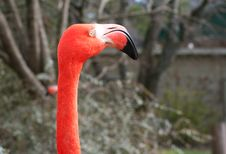 Free Closeup Of Flamingo S Head Stock Image - 1842701