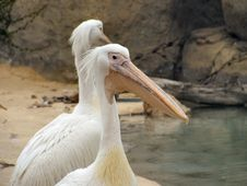 Free Two White Pelicans Portrait Stock Photo - 1846300