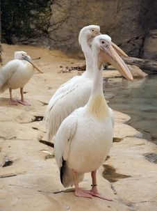 Free White Pelicans Family Stock Photos - 1846303