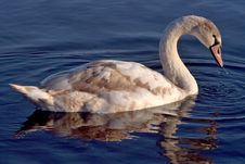 Free Swan Royalty Free Stock Image - 1846586