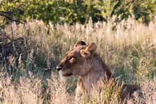 Free Lioness Stock Image - 1846601
