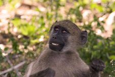 Free Baboon Stock Images - 1846634