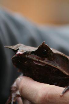 Malayan Horned Eye Frog Stock Image