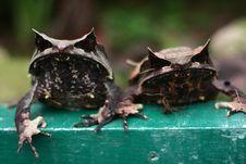 Malayan Horned Eye Frog Stock Photo