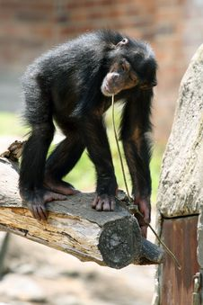 Young Chimpanzee On A Tree Royalty Free Stock Images