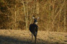 Free Whitetail Deer Looking Stock Image - 1849121