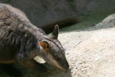 Wallaby Looking For Food Royalty Free Stock Image