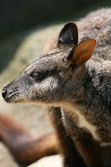Wallaby Face Royalty Free Stock Image