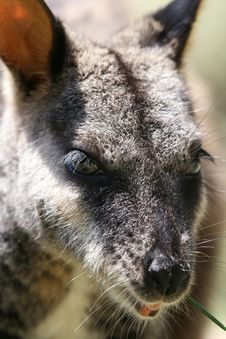 Wallaby Eyes Royalty Free Stock Images