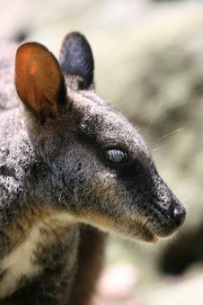 Free Wallaby Head Royalty Free Stock Image - 1849436