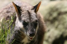 Free Wallaby Stock Image - 1849461
