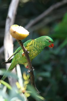 Free Green Parrot Royalty Free Stock Photo - 1849465