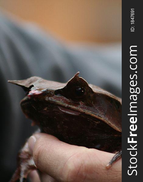 Malayan horned eye frog