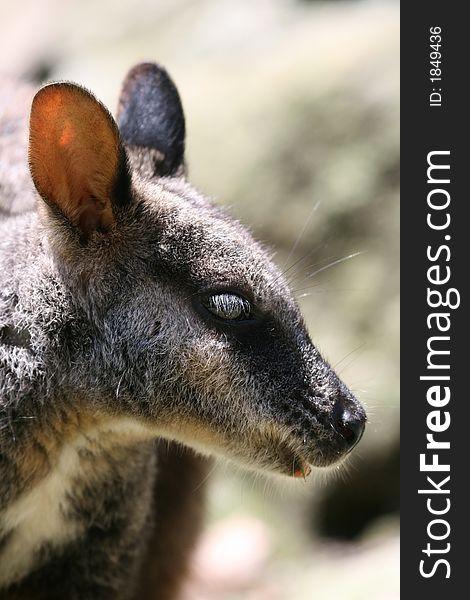 Wallaby head