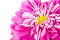 Free Pink Chrysanthemum Flower Royalty Free Stock Image - 18402486