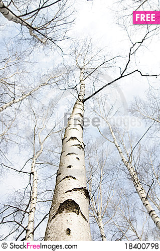 Free Early Spring In A Birch Forest Royalty Free Stock Photos - 18400798