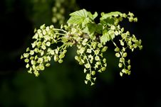 Flowering Currant Over Black Royalty Free Stock Image