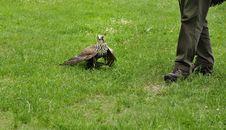 Free Falconer With Falcon,falco Cherrug . Stock Images - 18402044