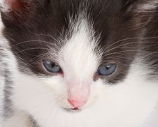 Free Kitten S Muzzle Royalty Free Stock Photos - 18402388