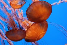 Free Monterey Jellyfish Royalty Free Stock Photography - 18403237