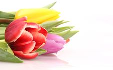 Free Tulips Fie Royalty Free Stock Photos - 18405528