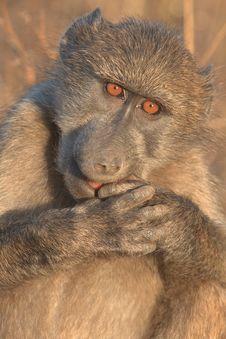 Free Baboon Feeding Royalty Free Stock Photo - 18406155