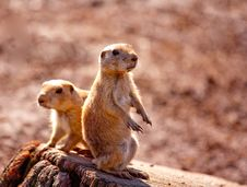Free Two Prairie Dogs Stock Photos - 18406933