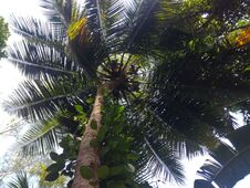 Free A Coconut Tree. Peppermint. In Sri Lanka. Stock Image - 184057111