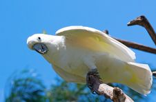 Free Sulphur-crested Cockatoo Royalty Free Stock Images - 18411909