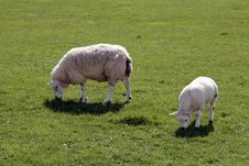 Free Sheep And Lamb Stock Photography - 18413322