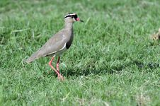 Free Crowned Plover Royalty Free Stock Photos - 18413798