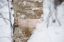 Free Birch Bark Royalty Free Stock Photo - 18414175