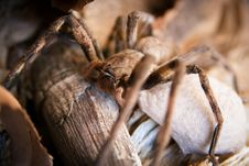 Free Huntsman Spider Stock Photography - 18414742